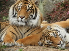 sumatran tigers berani and molek at auckland zoo 240x180 - Auckland Zoo