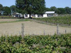 Vineyard 09 240x180 - Vineyard Overlooking Cape Kidnappers