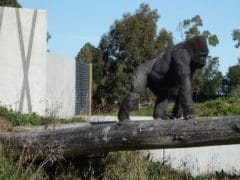 Orana Wildlife Gorilla 240x180 - Orana Wildlife Park
