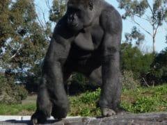 Orana Wildlife Gorilla Standing 240x180 - Orana Wildlife Park