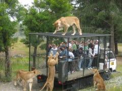 Orana Wildlife Lion Feeding 240x180 - Orana Wildlife Park