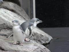 Two Penguins 2 240x180 - International Antarctic Centre