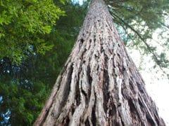 5480841537 ce1e9b064c o 240x180 - The Redwoods (Whakarewarewa Forest)