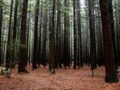 6187668477 9ac5f1fa5b o 240x180 - The Redwoods (Whakarewarewa Forest)