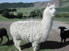 800px Fluffy white alpaca at Agrodome in Rotorua 240x180 - Agrodome
