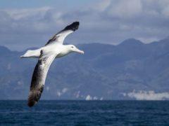 Gibsons Wandering Albatross2  ResizedImageWzg5Myw1OTVd 240x180 - Whale Watching Kaikoura