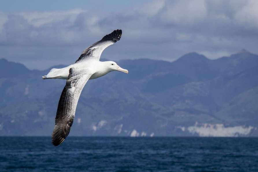 Gibsons Wandering Albatross2  ResizedImageWzg5Myw1OTVd - Whale Watching Kaikoura