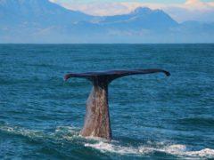 Semi resident sperm whale Tutu3  ResizedImageWzg5Myw1OTVd 240x180 - Whale Watching Kaikoura