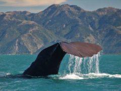 Sperm Whale Tiaki7  ResizedImageWzg5Myw1OTRd 240x180 - Whale Watching Kaikoura