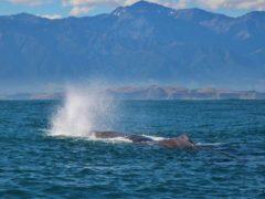 Sperm whale blow  ResizedImageWzg5Myw1ODhd 240x180 - Whale Watching Kaikoura