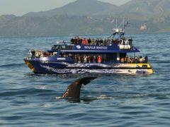 Wawahia Tail  ResizedImageWzg5Myw1OTNd 240x180 - Whale Watching Kaikoura