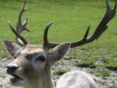 fallow deer 240x180 - Paradise Valley Springs