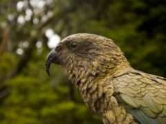 kea parrot 2677190 1280 240x180 - Paradise Valley Springs