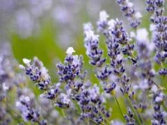 lavendercloseup3 DSC9037 240x180 - Lavendyl Lavender Farm