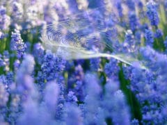 lavendercloseupspider DSC9144 240x180 - Lavendyl Lavender Farm