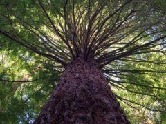 rotorua new zealand forest newzealand 240x180 - The Redwoods (Whakarewarewa Forest)